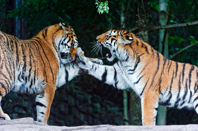 5-Tiger-Parenting-Chinese-Parenting.jpg